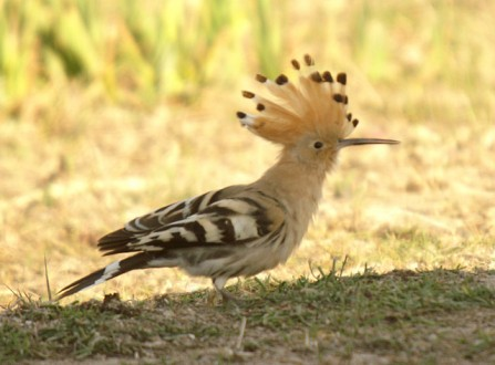 A Hoopoe [photo by Flickr user  Ferran Pestaña, CC BY-SA 2.0]